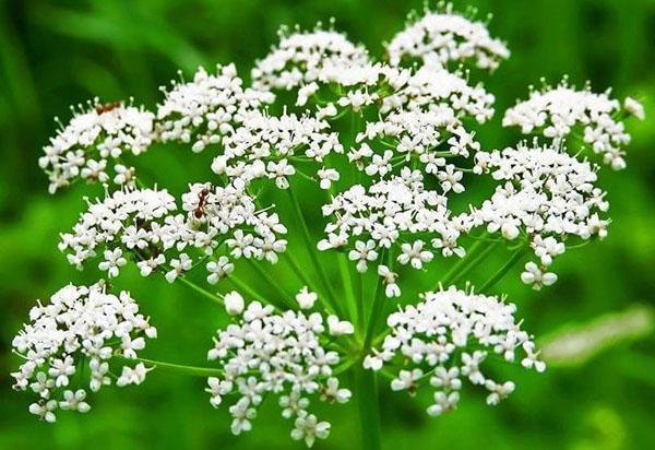 выращивание аниса из семян