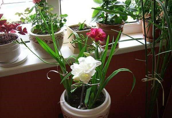 процесс выращивания фрезии