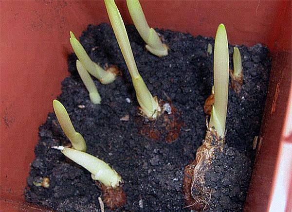 проросшие луковицы