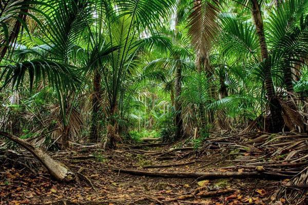 пальма в природных условиях