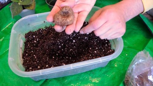 как посадить глоксинию