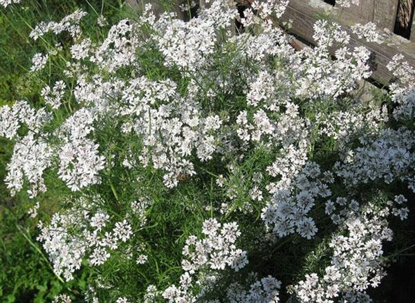 цветет кориандр