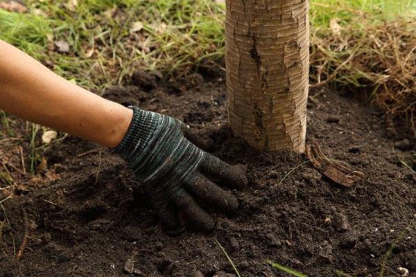рыхление почвы вокруг ствола