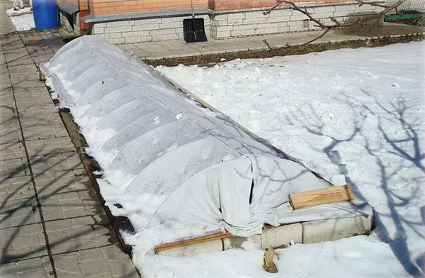 укрытие трициртиса на зиму